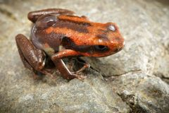 Poison dart frog with tadpole on its back, Andinobates bombetes. A small poison frog from the rain forest of Colombia stock image