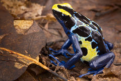 Poison dart frog. Tropical amphibian from Amazon rain forest in Brazil Suriname and French Guyana poisonous animal with bright blue and yellow colours Royalty Free Stock Photos
