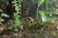 Poison dart frog. Tropical poison dart frog bright Stock Images