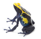 Poison dart frog tropical exotic amphibian isolated. Poison arrow frog, dendrobates tinctorius from the tropical exotic Amazon rain forest in Guyana, Brazil and Stock Image