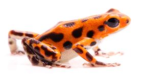 Poison dart frog,. Tropical poisonous orange rain forest animal, Oophaga pumilio royalty free stock photography