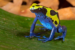 Poison dart frog vivid colors amphibian Royalty Free Stock Photos