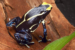 Poison dart frog. Yellow back dendrobates tinctorius in the Amazon rainforest this poisonous animal lives from tropical rain forest of Brazil, suriname and Stock Photography