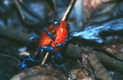 Poison Dart Frogs. Red poison dart frogs wrestling royalty free stock photography