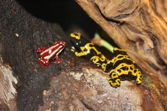 Poison dart frogs Royalty Free Stock Images