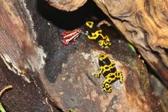 Poison dart frogs Royalty Free Stock Image