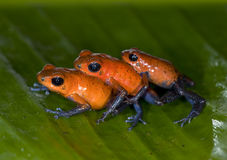 Poison dart frogs, blue jeans or strawberry Royalty Free Stock Photos