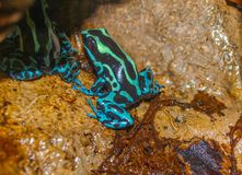 Poison Dart Frog Dendrobatidae. Poison dart frogs, members of the Dendrobatidae family, wear some of the most brilliant and beautiful colors on Earth. The two royalty free stock photo