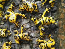 Poison dart frogs. Small Yellow-banded Poison dart frogs on wall Royalty Free Stock Images
