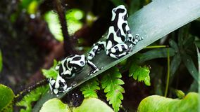Poison dart frogs stock video