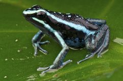 Poison  frog Royalty Free Stock Photos