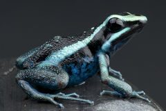 Poison frog Royalty Free Stock Images