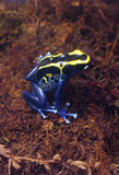 Poison Frog Stock Photo