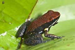 Poison Frog Stock Photos