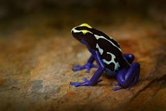 Poison frog, blue frog in tropic nature. Blue and yellow Amazon Dyeing Poison Frog, Dendrobates tinctorius, wildlife habitat. Wild Stock Photo