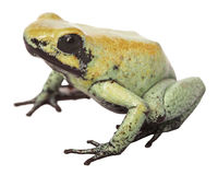 Poison frog Colombia Royalty Free Stock Images