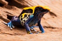Poison frog Dendrobates tinctorius Stock Photo