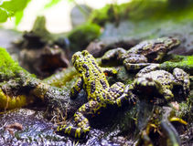 Poison Frogs Stock Photo
