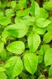 Poison ivy royalty free stock photos