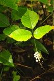 Poison ivy Stock Photos