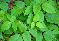 Poison Ivy. Photograph of a nice group of Poison Ivy plants in a midwest woodland stock photos