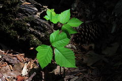 Poison Ivy. Plant if touched its oils irritate skin will produce a itchy rash Stock Images