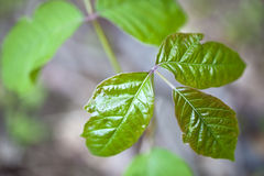 Free Poison Ivy Royalty Free Stock Image - 43074766