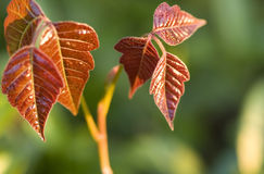 Free Poison Ivy Royalty Free Stock Photography - 4937847
