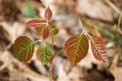 Poison ivy royalty free stock photography