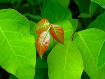 Free Poison Ivy Stock Photography - 72909492