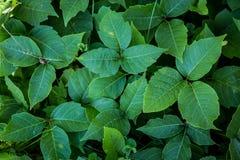 Free Poison Ivy Stock Photos - 75827943