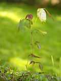 Poison ivy. A stalk of poison ivy, useful for identification stock image
