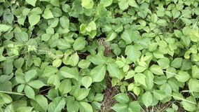 Poison Ivy Royalty Free Stock Photo