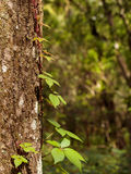 Poison ivy climbing oak tree trunk stock image