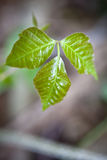 Poison Ivy. Close up detail of poison ivy in a natural setting royalty free stock image