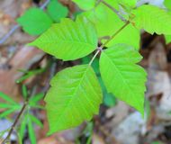 Poison Ivy Close- up Royalty Free Stock Photos