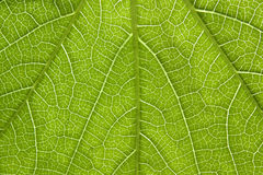 Poison ivy leaf close-up Stock Photos