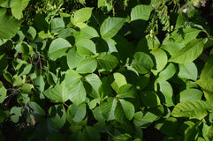 Poison Ivy Leaves in mid season royalty free stock photo
