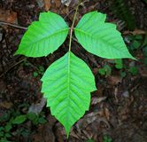 Poison Ivy Leaves (Taxicodendron radicans) Stock Photography