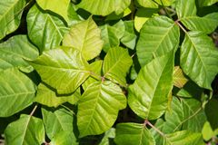 Poison ivy, leaves of three. A close up picture of a bright green patch of poison ivy with its pink stems. This plant commonly found on the east coast of the royalty free stock photos