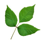 Poison Ivy Leaves (Toxicodendron radicans) Royalty Free Stock Photos