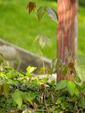 Poison ivy by a post. Poison ivy plants growing out of a patch of English ivy Royalty Free Stock Image