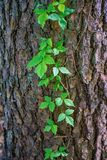 Poison ivy - Toxicodendron radicans Royalty Free Stock Images