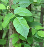 Poison Ivy, Toxicodendron radicans Stock Photos