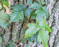Poison Ivy On Tree Trunk Royalty Free Stock Images