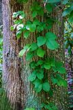 Poison ivy Vine - Toxicodendron radicans. Poison ivy vine, also known as eastern poison ivy growing on a tree located on the Blue Ridge Parkway in Virginia, USA royalty free stock photography