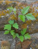 A poison ivy vine growing up a garden wall. A poison Ivy vine growing up an old stone wall Royalty Free Stock Photo