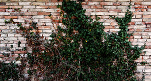 Poison Ivy. The poison ivy on the wall Royalty Free Stock Photo