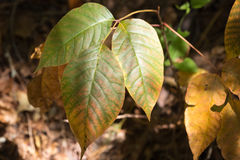 Poison Ivy. Wild Poison Ivy in the fall of north georgia mountains Stock Photo