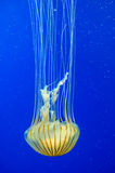 Poison jellyfish Royalty Free Stock Photos